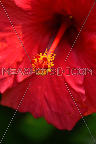 Close up red hibiscus flower pistil (mallow rose), low angle view