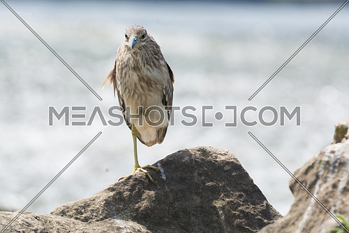 Black Crowned Night Heron standing on a rock using one leg