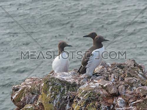 A group of nesting guillemots (Uria aalge) on the cliffs of the Isle of May