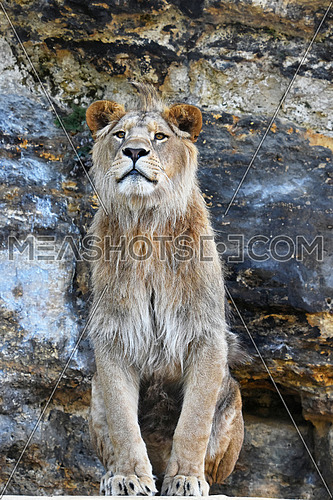 Close up portrait of mature male African lion sitting on stone rocks, looking at camera, low angle view