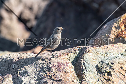 Close-up photography of  beautiful European black redstart (Phoenicurus ochruros)