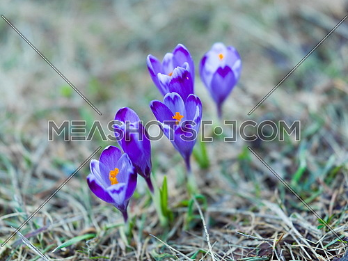 crocus purple flower first sign of spring