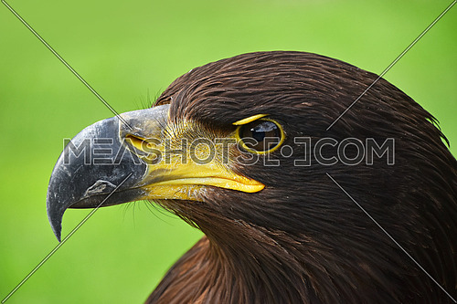 Close up profile portrait of one Golden eagle (Aquila chrysaetos) looking at camera over green background, low angle side view