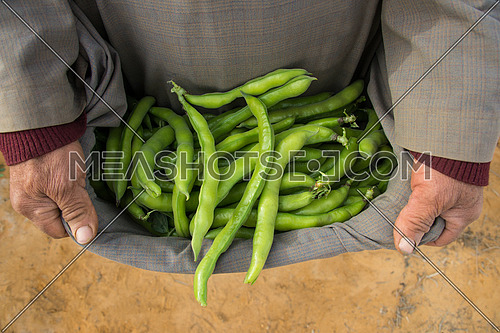 Green Raw broad beans in a farmers clothing