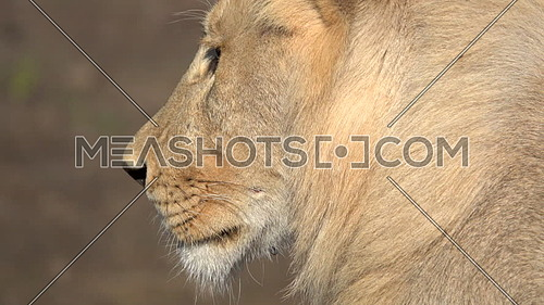 Close up view of  the profile of a lion