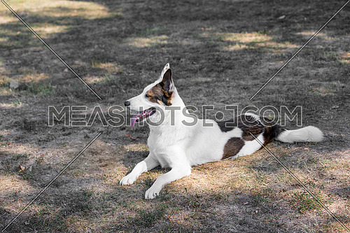 Portrait of a young yakutian laika dog at the park.Selective focus