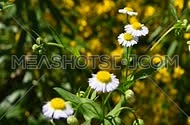 Wild meadow chamomile flowers over green background of field, close up, focusing in