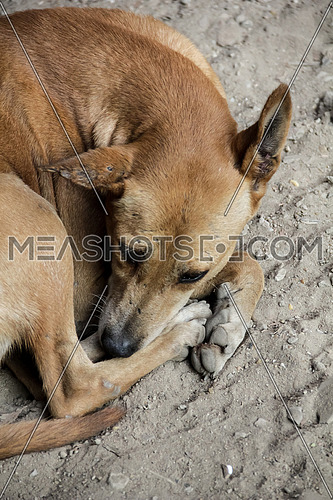 Big close for street dog laying on dirt.