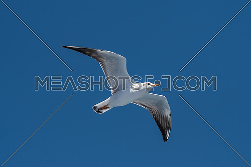 Portrait of Audouin's Gull - Ichthyaetus audouinii  in  flight