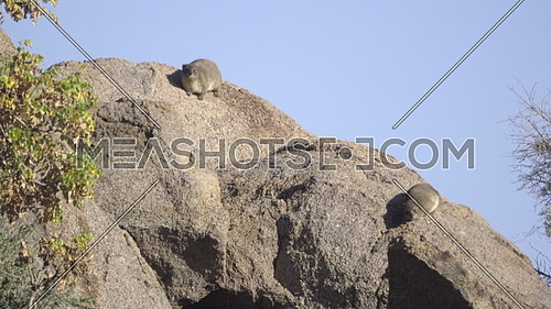 View of two Hyrax sunning on a rock