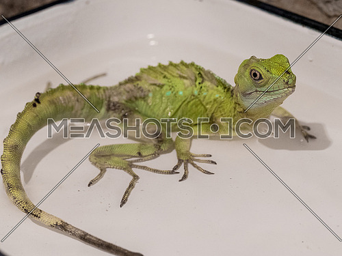 The plumed basilisk (Basiliscus plumifrons), also called a green basilisk, double crested basilisk, or Jesus Christ lizard, is a species of corytophanid native to Central America. Note: Shallow depth of field