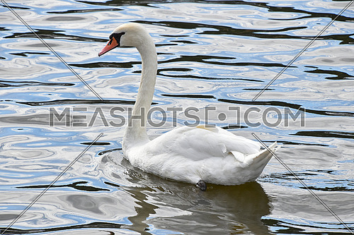 Close up portrait of one beautiful white swan in water with waves and ripples, high angle side view