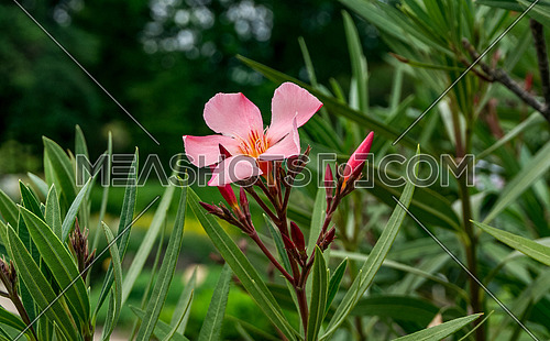 Pink oleander flower, Rose bay flower with leave. (Nerium oleander L.)