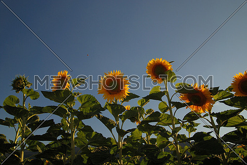 sunflowers field   (NIKON D80; 6.7.2007; 1/100 at f/7.1; ISO 100; white balance: Auto; focal length: 18 mm)
