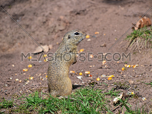 Close up side profile portrait of one gopher or ground squirrel looking away, high angle view