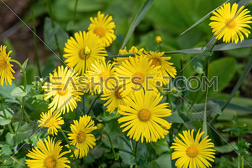 Yellow Chamomile, Close up of Doronicum orientale