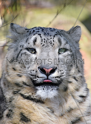 Close up portrait of snow leopard (or ounce, Panthera uncia) young female looking at camera, showing tongue, low angle view