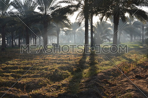 long shot for Orchard from early morning with beautiful sunbeam showing a cow and palm trees.