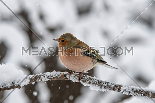 Common Chaffinch (Fringilla coelebs) in snow searching for food