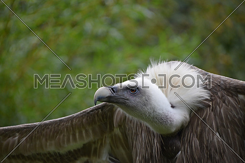 Close up profile portrait of Eurasian griffon vulture (Gyps fulvus) with wings wide spread, low angle front view