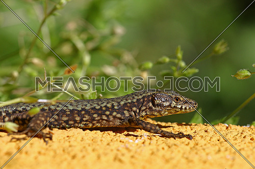 Common lizard, Podarcis Muralis, up close laying still to smell its prey