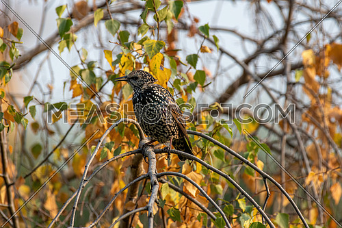 Common Starling (Sturnus Vulgaris) Perching on the Branch