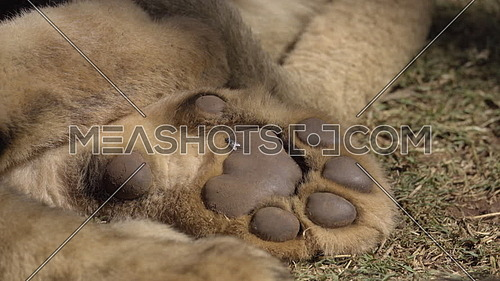Scene as fly lands on lions back paw