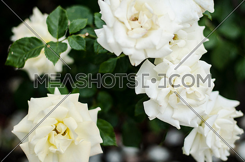 Several White roses combined together