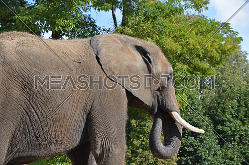 Close up side profile portrait of male African elephant with tusk looking at camera over background of green trees and blue sky, low angle view