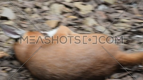 Close up view of one cute baby caracal kitten playing with food, dead white rat, imitating hunting and chasing prey, low angle view