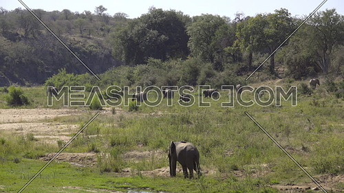 Scene as a herd of elephants grazing on a lush green river bank