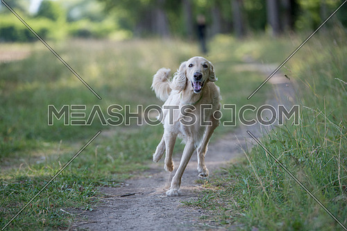 Kyrgyzian  Sight hound Taigan is a member of the family of Eastern Sighthounds. The Taigan is a very rare dog breed, reported about few hundred  worldwide. Selective focus on the dog