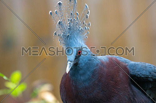 The Victoria crowned pigeon part of a genus of three unique, very large, ground-dwelling pigeons native to the New Guinea region.