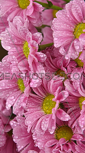 Close up background pattern of fresh pink chrysanthemum or marguerite flowers with water drops after the rain, side view