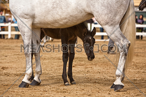 Mother horse and nursing baby
