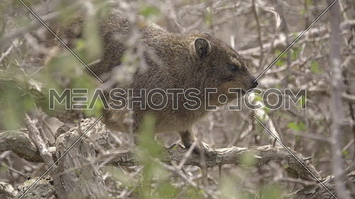 View of a tiny Hyrax a relative of Elephants
