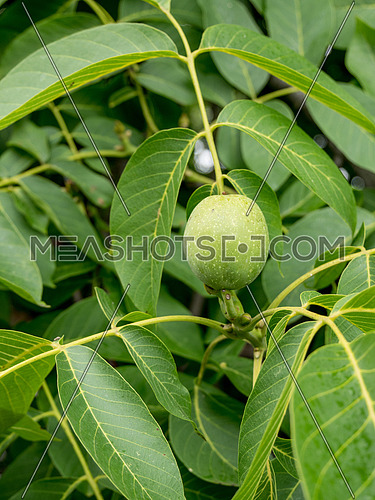 Walnut tree close up with green fruits
