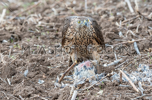 Falcon eating a pigeon. Young handsome hawk in nature