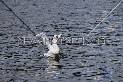 Close up one beautiful white swan swim, float and row in water with waves and ripples, speading wings, low angle front view