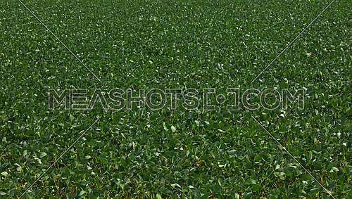 Close up field of green soya plants, high angle view
