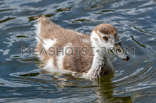 Egyptian goose (Alopochen aegyptiaca) chick  in local park