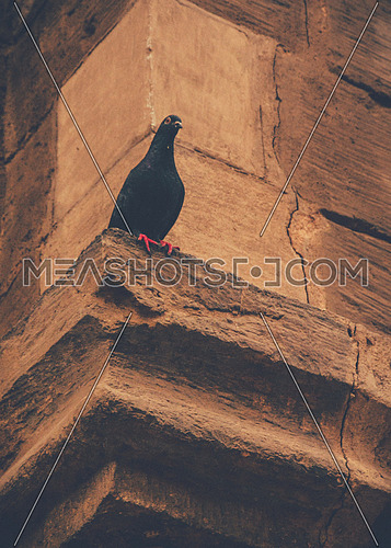 Black pigeon In the wall of Masjed Elmoaz in Cairo ay day