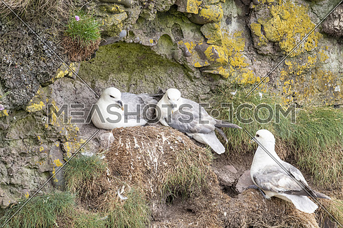 Fulmars (Fulmarus glacialis) nesting on a cliff edge