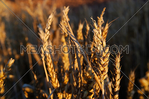 wheat and blue sky   (NIKON D80; 6.7.2007; 1/100 at f/6.3; ISO 400; white balance: Auto; focal length: 40 mm)