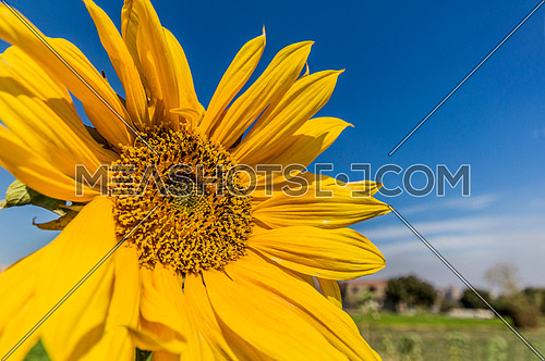 a Sunflower close up with the blue sky in the background
