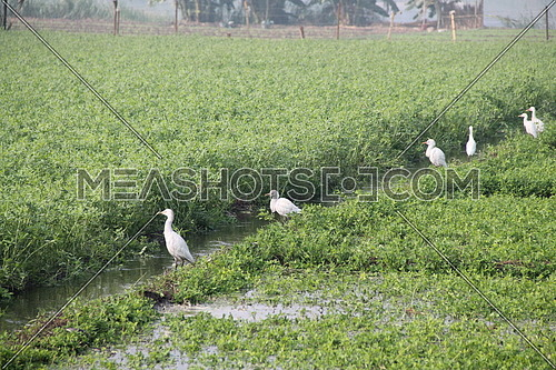 a photo for a cultivated land in rural area in Egypt showing a birds beside an irrigation canal
