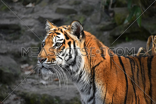 Close up side profile portrait of Siberian tiger (Amur tiger, Panthera tigris altaica) over rocks