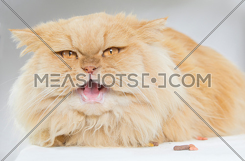 A persian brown cat posing to the camera opening its mouth