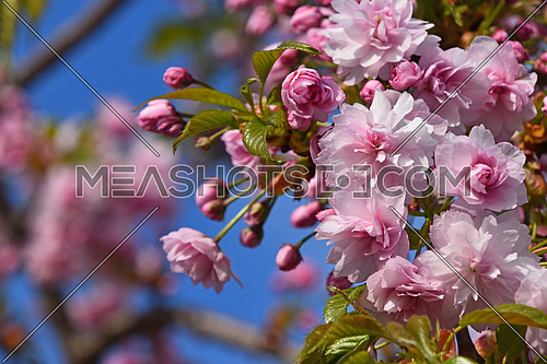 Branch of pink cherry blossom flowers with fresh new buds close up over background of blue sky and sakura trees