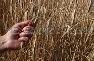 Man farmer's hand holding, husking, dehulling, peeling grains of ripe mature wheat ear spike over background of field shaking in the wind, close up
